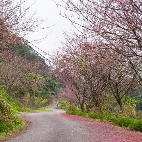 赤科山櫻花